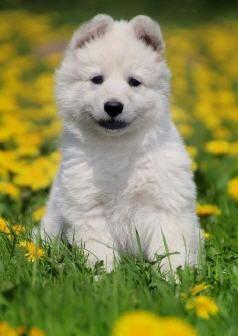 Weisser Schaferhund Zuchtverein Weisse Schaferhunde Verein E V